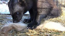 Росомаха изучает хвост домашнего яка: видео Челябинского зоопарка
