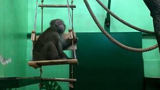 Качели для японского макака: видео из Челябинского зоопарка