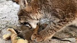 Рыси растерзали старые меховые шапки: видео Челябинского зоопарка