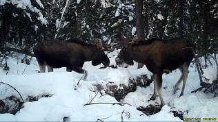 Лоси повздорили за обедом: видео из нацпарка Таганай