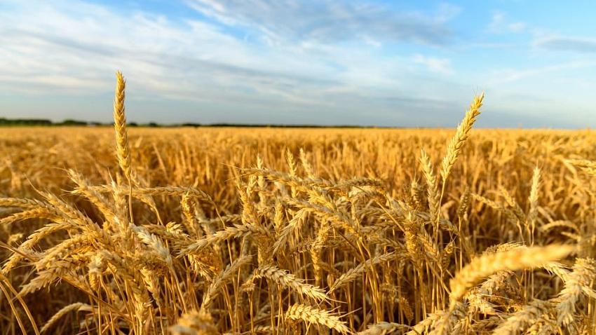 Челябинская область потеряла почти половину запланированного урожая зерна из-за засухи