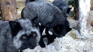 Чёрно-бурые лисицы отрастили зимний мех: видео Челябинского зоопарка