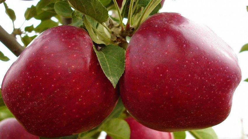 Яблоня «Ред Чиф»: посадка и уход