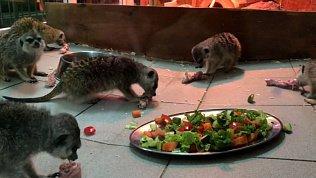 Урок скоростного поедания курицы от семейства сурикатов: видео Челябинского зоопарка