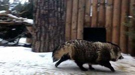 Самая короткая прогулка енотовидной собаки попала на видео