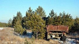 В канун новогодних праздников «черные» лесорубы спилили 71 ель