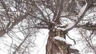 Неизвестные вырубили 100-летние лиственницы