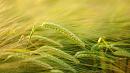 Почти два миллиона тонн зерна планируют собрать вэтом году аграрии Челябинской области