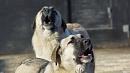 В Троицке стая собак загнала детей назабор