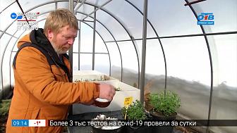 Руки садовода — Хризантема после зимовки