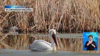 На Южный Урал прилетели пеликаны